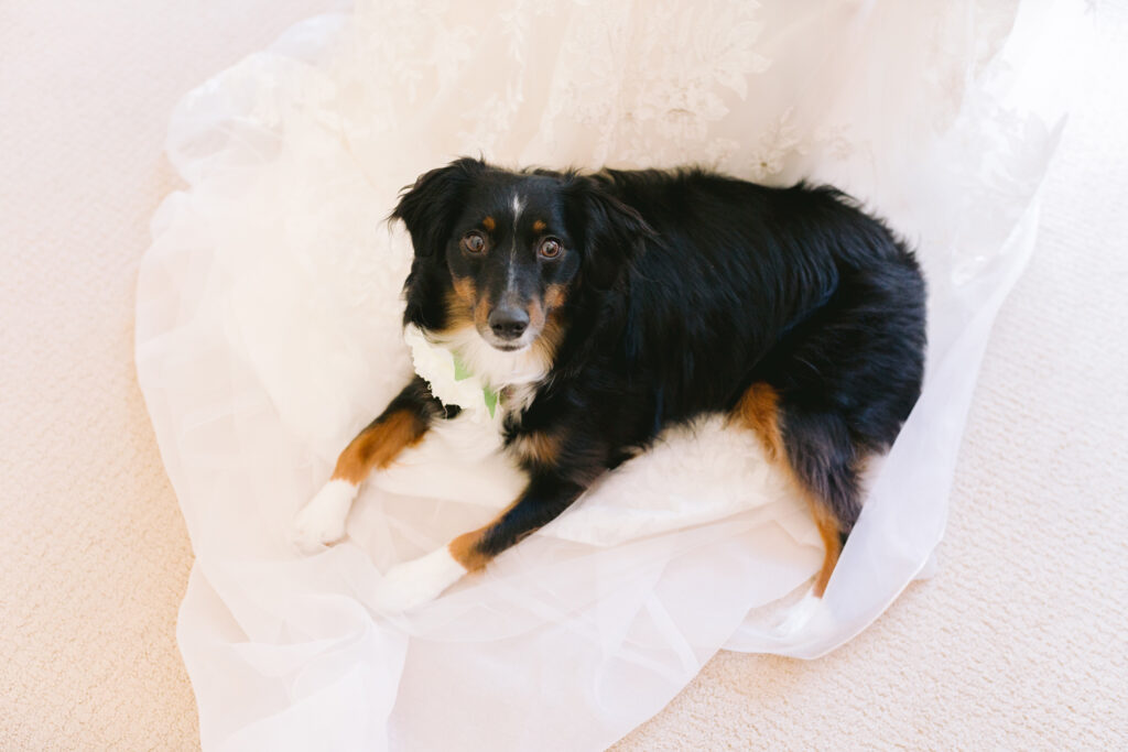 dog on bridal dress train