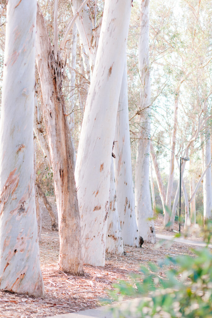 eucalyptus tree lake forest